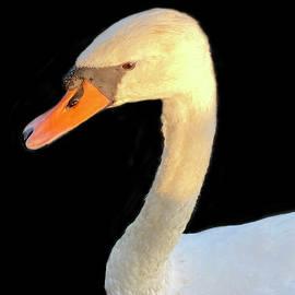 Swan Portrait in the Golden Hour by Brigitta Diaz