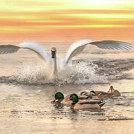 Swan Sunset by Patti Deters