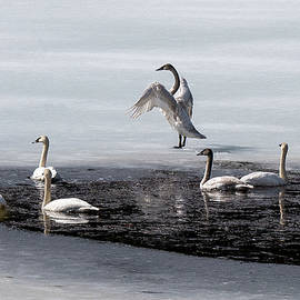 Swans at Chetwynd by Richard Smith