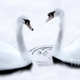 Swans in Winter by Dave Harnetty