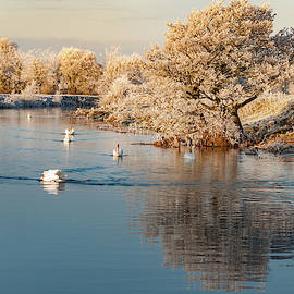 Swans in Winter by Rob Hemphill