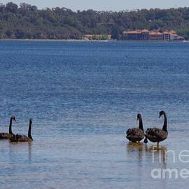 Swans On The Swan by Lesley Evered