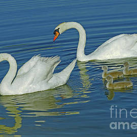 Swans On The Water at 11 Days by Larry Nieland