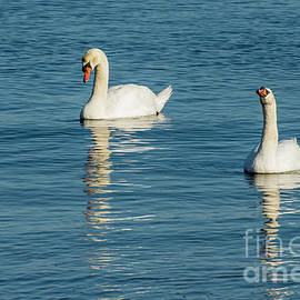 Swans Reflections by Ruth H Curtis
