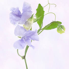 Sweet pea by Denis O' Reilly
