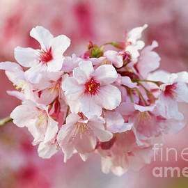 Sweet Pink Cherry tree in bloom by Ruth Jolly