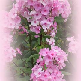 Sweet Summer Phlox Flowers by Kay Novy
