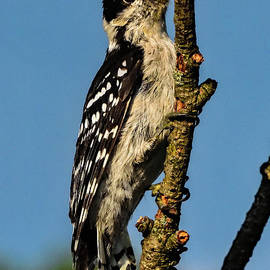 Sweet Toothed Juvenile Downy Woodpecker by Cindy Treger