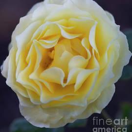 Swirl of Vanilla Rose by Ruth Jolly