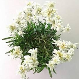 Swiss Alp flower by Fladelita Messerli-