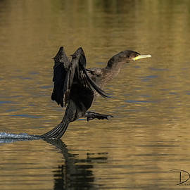 Tail Dragging Cormorant by David Cutts