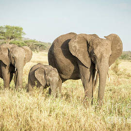 Tanzania Elephant Family by Timothy Hacker