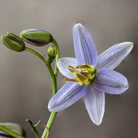Tasman Flax lily  Dianella tasmanica by Deane Palmer