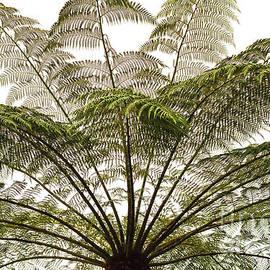 Tasmanian Tree Fern Canopy by Elaine Teague