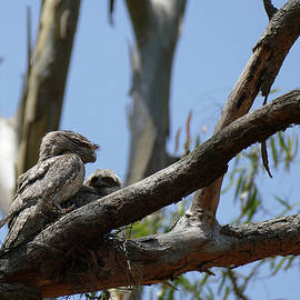 Tawny Frogmouth watching over chick