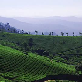 Tea Plantation by Darshan Ekbote