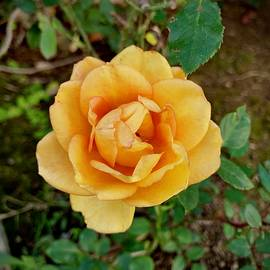 Tea Rose by Inez Ellen Titchenal