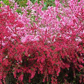 Tea Tree Blossoms Extraordinaire by Brian Tada