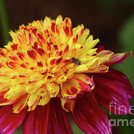 Tender Heart Dahlia by Christiane Schulze Art And Photography