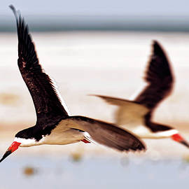 Black Skimmers Taking Turns by Felipe Correa