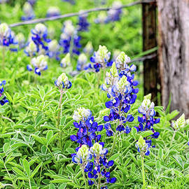 Texas Bluebonnets by Scott Pellegrin