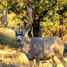 Texas Mule Deer 001693 by Renny Spencer