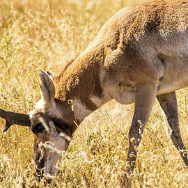 Texas Pronghorn Grazing 001714 by Renny Spencer