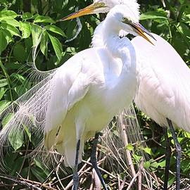 The Adoring Egret Couple by Lisa Wooten