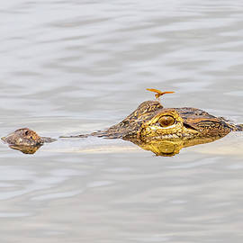 The Alligator and the Dragonfly by Phil Stone