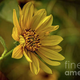 The Beautiful Sunflower by Robert Bales