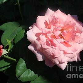 The Beauty of a Rose by Dora Sofia Caputo