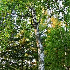 The Beauty of the Birch Tree by Ann Brown