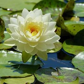 The Beauty of the Water Lily by Richard Bryce and Family
