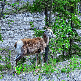 The Big Horn Sheep by Robert Bales