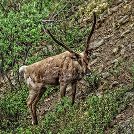 The  Caribou by Robert Bales