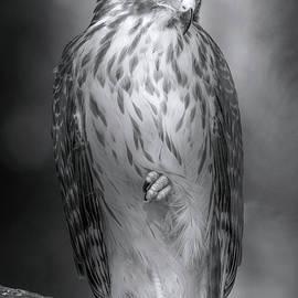 The Classy Hawk by Mark Andrew Thomas