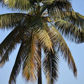 The Coconut Tree by Mini Arora