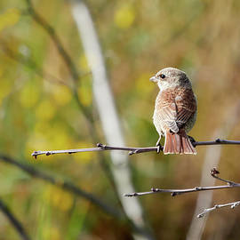 The colors of fall are creeping in. Red-backed shrike by Jouko Lehto