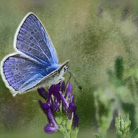 The Common Blue--textured by Carmen Macuga