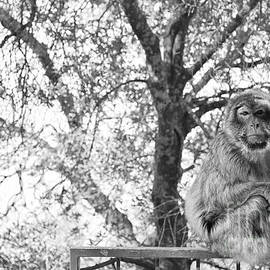 The contemplating monkey by Yavor Mihaylov