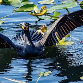 The Crazy Cormorant by John Wall