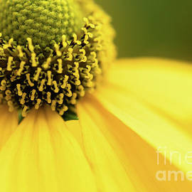 The Crown of Rudbeckia by Janice Noto
