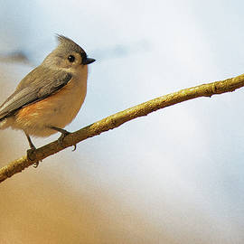 The Cute Tufted Titmouse by Scott Burd