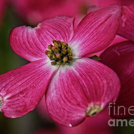 The Dogwood Macro by Robert Bales