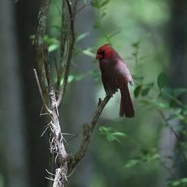 The Elusive Cardinal by Carol Groenen