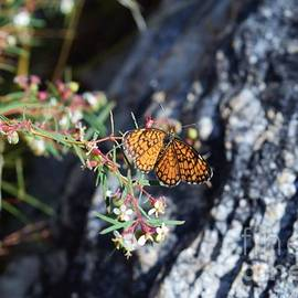 The Elusive Elada Checkerspot by Janet Marie