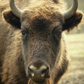 The European Bison by Dane Walker