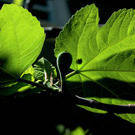 The Fig by Ivete Basso Photography