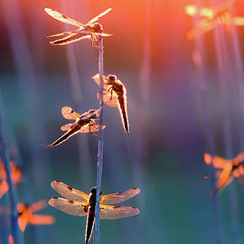 The Fire Fairies - Dragonflies at sunset by Roeselien Raimond