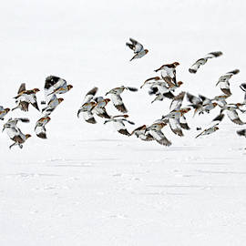 The Flight Of The Snow Buntings by Debbie Oppermann